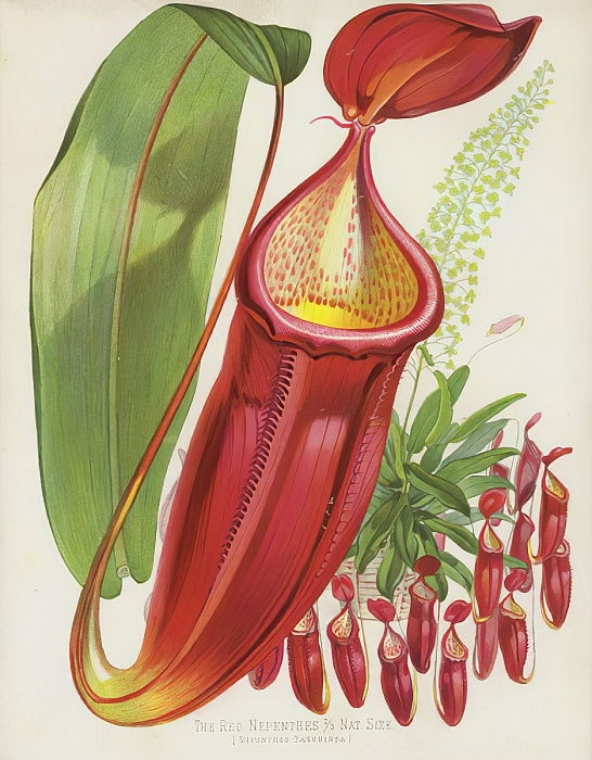 Los Nepenthes Rojos, Nepenthes Sanguinea de English School