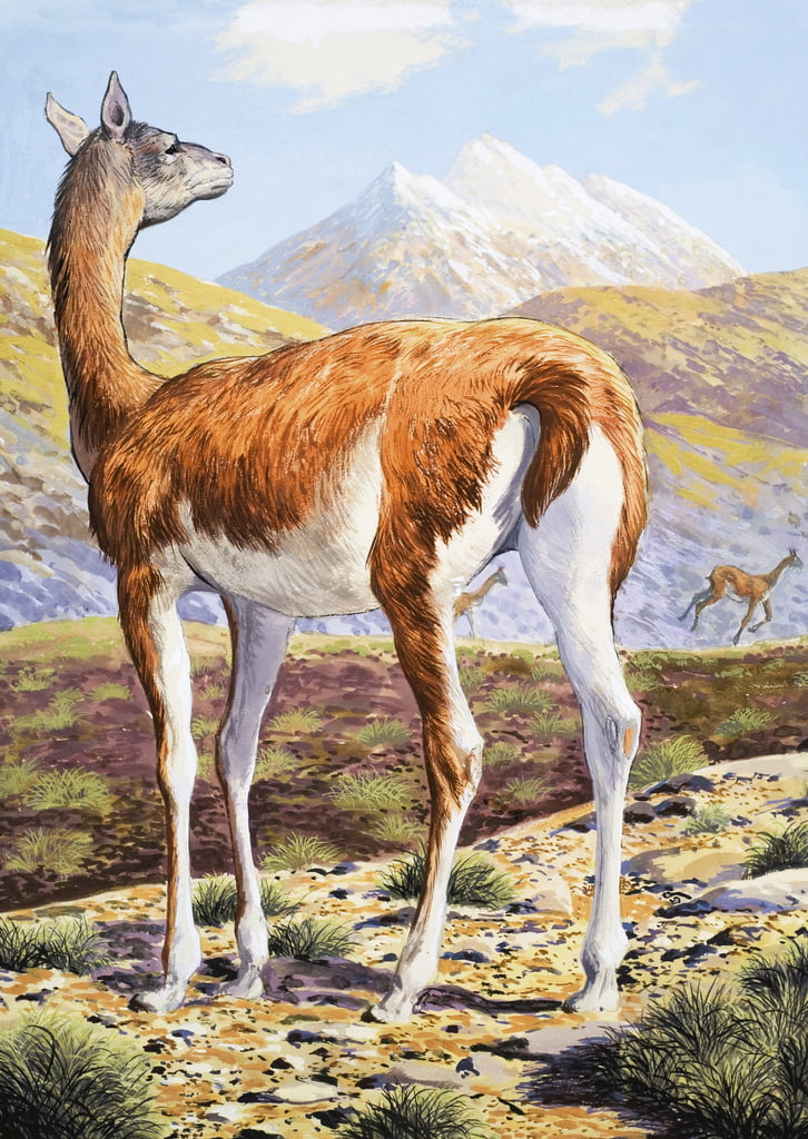 Graceful Guanacos de English School