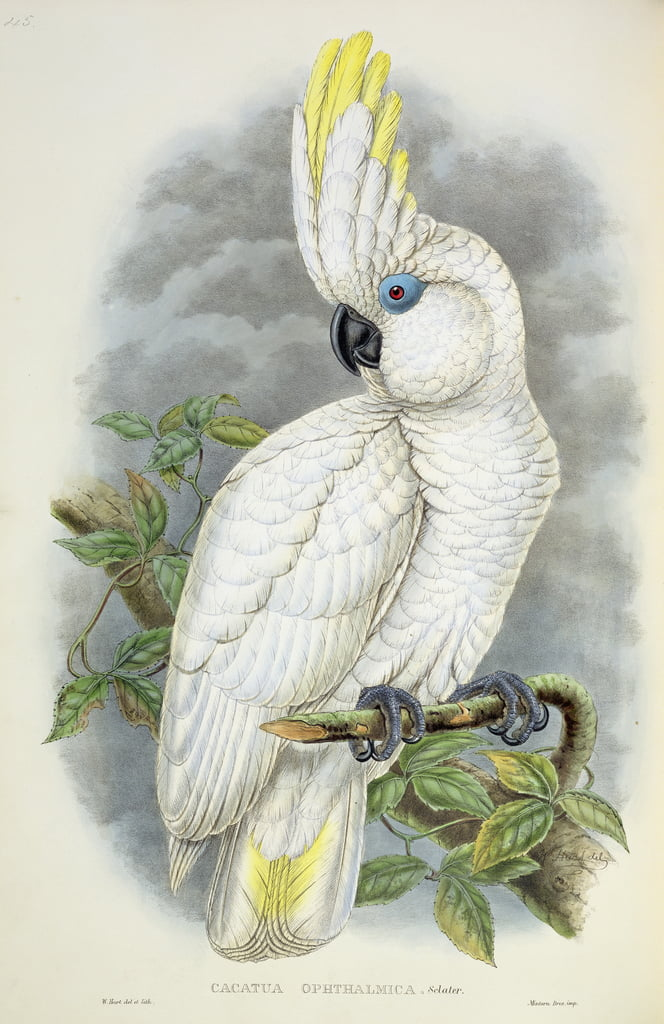 Blue-Eyed Cockatoo de William Hart